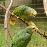 Amazona Zoo, Cromer